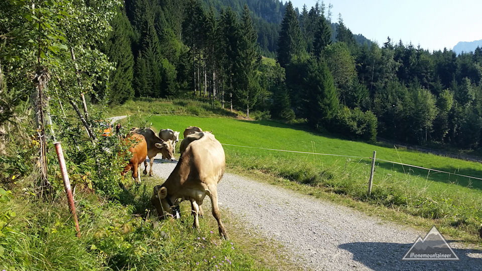 Cattle on the rural road - Wängle